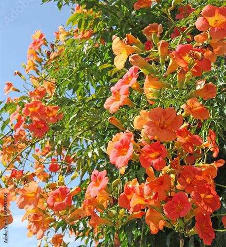canvas print picture fleurs de campsis