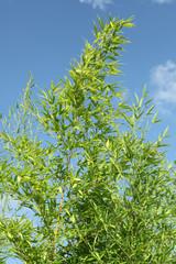 bambou Fargesia