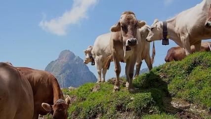 Kuhweide in der Schweiz