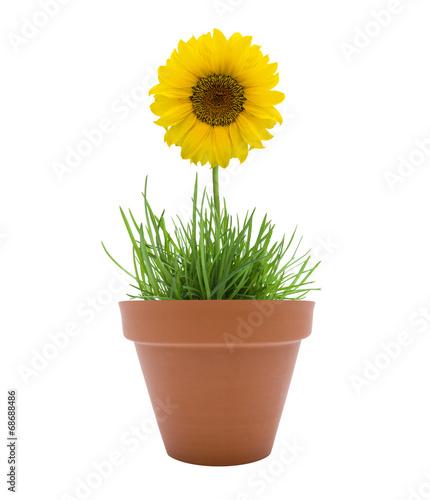 Foto op Canvas Zonnebloem Sonnenblume im Topf