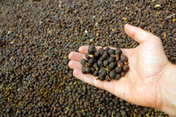 organic fresh new dried coffee beans on hand