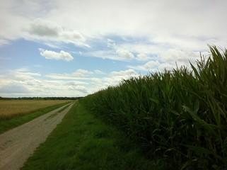 Maisfeld am Wegesrand