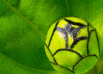 Green bud of dhalia flower on green leaf blur background