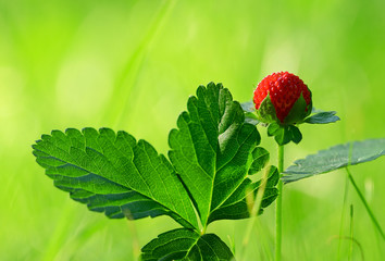 Wild strawberry in forest