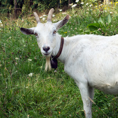 White billygoat, male goat, in field. Looking at camera.