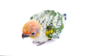 Young sun conure parrot on white background.