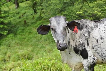 Vaches montagne Costa Rica