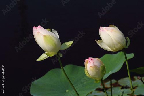 Foto op Canvas Lotusbloem 閉じたハスの花