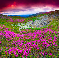 Magic pink rhododendron flowers under red dramatic sky.