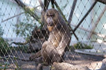 Pavian hinter Gittern