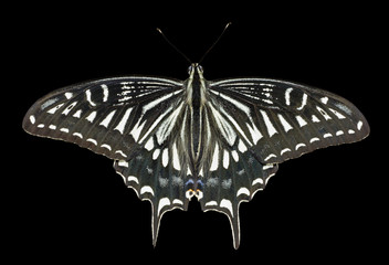 Butterfly (Papilio xuthus) 12