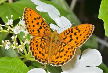 Butterfly (Brentis) 7