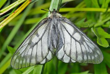 White butterfly (Papilio stubendorfi) 12