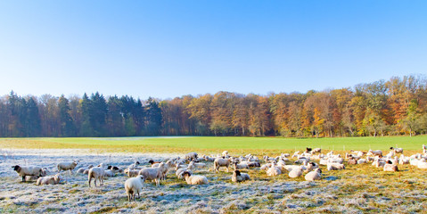Schafe im Herbst