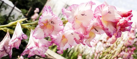 Gladiolos rosas-