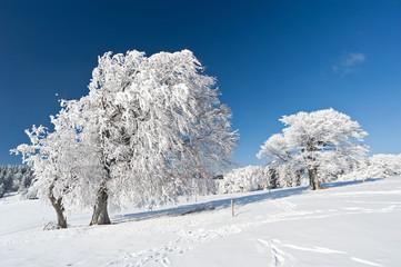 Verschneite Bäume im Schwarzwald