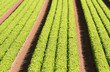 rows of green salad grown in agricultural field 3