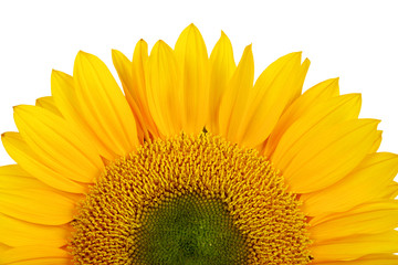 yellow sunflower isolated over white