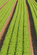 rows of green salad grown in agricultural field 4