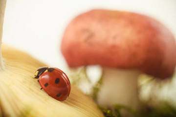 ladybug on a mushroom in the forest moss