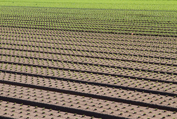 green row of seedlings growing in the agricultural field 4