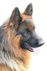 german dog;