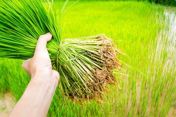 Seedlings rice