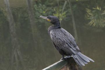 Biguá ave pescadora brasileira