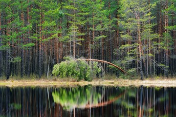 Pine forest and a lake