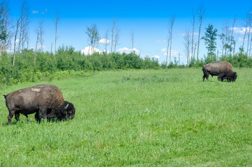 Herd of plains bison, Elk Island National Park, Alberta, Canada