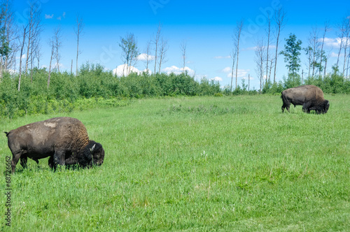 Keuken foto achterwand Buffel Herd of plains bison, Elk Island National Park, Alberta, Canada