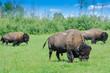 Herd of plains bison, Elk Island National Park, Alberta, Canada