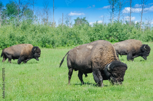 Foto op Aluminium Buffel Herd of plains bison, Elk Island National Park, Alberta, Canada