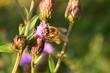 Obrazy na płótnie, fototapety, zdjęcia, fotoobrazy drukowane : Пчела и пыльца