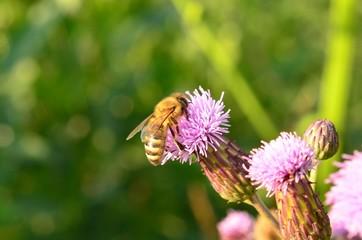 Пчела на сорняке