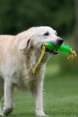 hund trägt sein spielzeug
