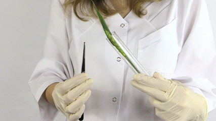 biologist hand put rye ear with medical tweezers in glass flask.