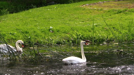Swans pair. White birds swimming in river water