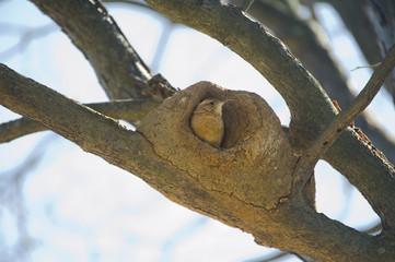 João-de-barro pássaro do Brasil