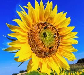Sonnenblume am blauen Himmel