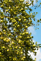 Ripening apples on a tree