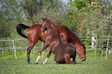 Chestnut horse rolling on the grass in summer