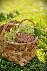 medical linden flowers in a rustik  basket