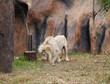 white lion resting