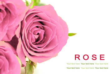 Sweet pink roses on white background. Greeting card.