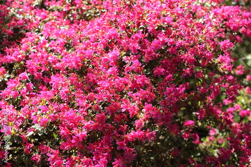 Pink Azalea blooming bush