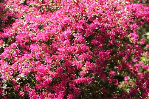 Foto op Plexiglas Azalea Pink Azalea blooming bush