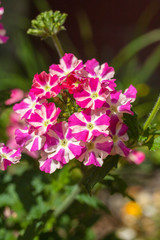 Beautiful pink and white verbena flower in the garden