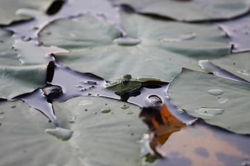 Abgetaucht - Frosch