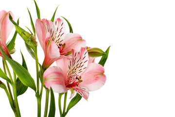 pink lilies isolated on the white background